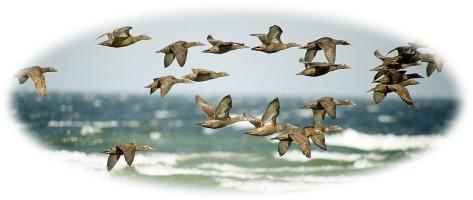 ederfugle på træk 1
